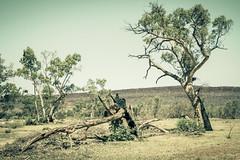 IMG_4567 (gaujourfrancoise) Tags: nt australia downunder northernterritory australie kakadunationalpark deadtrees arbresmorts gaujour