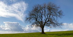 Lone Tree (Mukumbura) Tags: wood blue shadow england sky sunlight tree green nature field grass clouds landscape outdoors spring branches somerset ashtree ash isolation hilltop lonetree priddy mendiphills