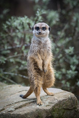 I like to move it (d.dk) Tags: portrait nature animal zoo tiere zoom tier meercat suricate erdmnnchen gelsenkrichen