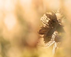 Bokeh di fiori :) (Salvo.M77) Tags: