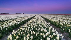Blue hour tulips (Ellen van den Doel) Tags: flowers sunset sky color netherlands field zonsondergang tulips nederland april bulbs nl lucht veld bollen tulpen zuidholland kleur 2016 bollenveld bollenstreek tulpenveld nieuwetonge goereeoverfklakkee