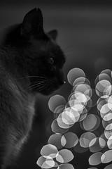In Tribute to Simba (W_von_S) Tags: blackandwhite bw animal cat blackwhite sw tribute katze monochrom simba kater tier werner tomcat erinnerung einfarbig schwarzweis wvons