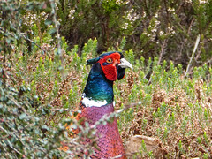 I'm Here! (Mabacam) Tags: park bird nature garden outdoors pheasant heather surrey parkland virginiawater 2016 greatwindsorpark virginiawaterlakes