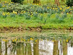 Frhling am Teich (GerWi) Tags: nature landscape pond wasser outdoor natur springs ufer teich landschaft frhling osterglocken