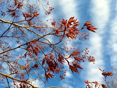 Dark red spring growth? ((Jessica)) Tags: flowers boston spring massachusetts charlesriver newengland pw