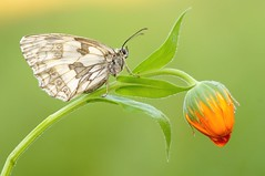 Wizard of life... (Zbyszek Walkiewicz) Tags: macro closeup butterfly c butterflies platinumheartaward coth5