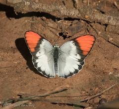 Pieridae Butterfly (Peter du Preez) Tags: butterfly pieridae