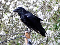 Carrion Crow (green gennii) Tags: garden jersey carrioncrow