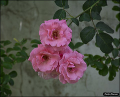 The Three Amigos IZE_15643as (Zachi Evenor) Tags: flowers roses flower rose garden israel gardening april mygarden    2016 rosea            zachievenor