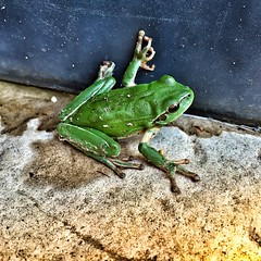 Ma copine la grenouille.... (laurent Showl20) Tags: cute green love animal jolie grenouille verte