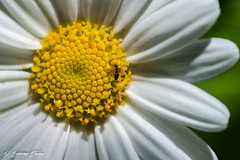 _DSC0948 (Simone Stella) Tags: flowers light sun flower macro garden lens nikon tamron 90mm simmetria apulia d5100