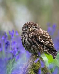 Little Owl (hehaden) Tags: wood bluebells moss surrey owl bwc littleowl athenenoctua lingfield britishwildlifecentre sel70200g