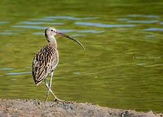 Eurasian Curlew ( ) (Sreelesh Sreedhar) Tags: bird nature animal seaside nikon outdoor wildlife ngc tele creature oman curlew nikonflickraward nikond7100 nikon200500