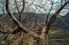 rboles barranca (Braulio Gmez) Tags: guadalajara paisaje barranca gully caon huentitan barrancadehuentitan floresyplantas faunayflora barrancaoblatos barrancaguadalajara