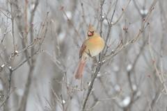Ms Cardinal-45996.jpg (Mully410 * Images) Tags: winter snow cold bird birds backyard cardinal birding birdwatching birder northerncardinal