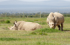 Rinoceronte-branco-do-norte (dragoms) Tags: africa mammal kenya wildlife natureza rhino rinoceronte mamfero qunia northernwhiterhinoceros olpejeta ceratotheriumsimumcottoni dragoms rinocerontebrancodonorte