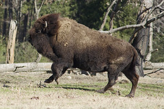 and with the wind blowing her full mane she gleefully romped about (ucumari photography) Tags: animal mammal zoo nc north january carolina prairie bison 2016 specanimal ucumariphotography dsc5227 notabuffalo