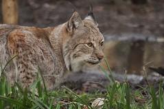 Lynx (Rochester2007) Tags: wildwood lynx