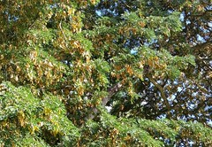 Albizia-forbesii_MoanaluaGarden-Honolulu_Cutler_20160106_154234 (wlcutler) Tags: hawaii oahu honolulu albizia maunalua broadpod albiziaforbesii maunaluagarden