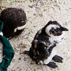 photo - Boulders Beach, South Africa (Jassy-50) Tags: beach southafrica penguin photo squareformat molt bouldersbeach capepeninsula africanpenguin
