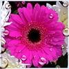 Pink Gerbera (rustyruth1959) Tags: pink flower nikon yorkshire gerbera bloom nikond3200 masterphotos