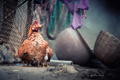 Mom's love (Partha Dalal) Tags: winter chicken love legs cock chick heat worm shelter hen feelings westbengal roster purulia psdp parthadalal