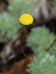 Cotillion hispida (dracophylla) Tags: asteraceae royaltasmanianbotanicalgardens cotulahispida