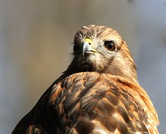 Red-shouldered hawk (Mary Sonis) Tags: