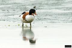 Common Shelduck (Tadorna tadorna) (Dave 2x) Tags: duck taiwan taipei common shelduck commonshelduck tadornatadorna tadorna huajiang leastconcern