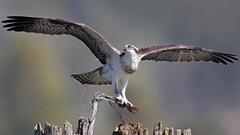 Osprey Ballerina... (photosauraus rex) Tags: wild canada bird animal vancouver bc outdoor raptor osprey pandionhaliaetus pandion haliaetus nonzoo nonraptorshow nonbaited