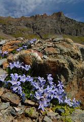 Pian Borgnoz 01 (maurizio.broglio) Tags: parco gran campanula paradiso nazionale pian valsavarenche cenisia borgnoz