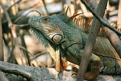 Galan (Gatifoto) Tags: naturaleza nature mxico iguana oaxaca mexique reptil ventanilla manglar garrobo mjico gatifoto arnaldopea