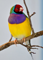 Gouldian Finch, male (R.A. Killmer) Tags: bird nature fly colorful beak feathers feather finch aviary avian talons gouldian nationalaviary