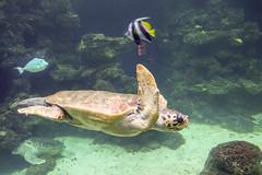 Meeresschildkrte (ralfkai41) Tags: aquarium tiere schildkrte meeresschildkrte