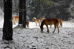 bosco (enrico sprea) Tags: gelo alberi italia erba neve piante montagna cavalli freddo animali animale rami bolzano bosco nevicata ghiaccio pini fiocchi pascolo allaperto tronchi trentinoaltoadige pentaxlife brucare sangenesioatesino