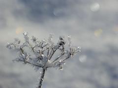 P1380129 (th.wilhelm61) Tags: flowers schnee winter snow flower bokeh blumen sparkle wonderland blume blte fz150 winter2016