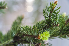 Bud Of Spruce Tree (AudioClassic) Tags: winter plant macro tree green nature closeup leaf flora branch bokeh nopeople indoors backgrounds growing bud spruce freshness flowerhead naturebackgrounds