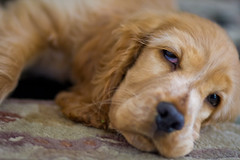 sleeping 3 (r33tom) Tags: dog cockerspaniel canon100mmf2 canon60d