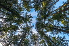 """Time spent amongst the trees is never time wasted."" (sdove9) Tags: trees winter sky lake tower nature up look pine forest outside outdoors washington woods angle pacific northwest pentax wide tall pnw 15mm issaquah sammamish k5ii"