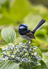 Fairy Wren, taken through my front window. (aussiegall) Tags: bird native australian southernhighlands fairywren