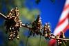 "Adenanthera pavonina ""Red Sandalwood"" (tleemiami) Tags: usa plant tree pod florida miami seed srilanka coconutgrove redbeadtree plymouthcongregationalchurch adenantherapavonina redsandalwood canoneos5dmarkiii canonef70200mmf28lisiiusm"