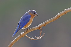 Lovely Bluebird (Thank you for ONE MILLION VIEWS !!!!) Tags: winter tree bird nature river outdoors wildlife massachusetts bluebird sanctuary ipswich topsfield explored