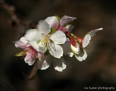 All that I've learned, I've forgotten. The little.... (itucker, thanks for 1.9+ million views) Tags: macro cherry blossom bokeh arboretum cherryblossom raulstonarboretum fujicherry