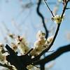 Ume blossom 01 (shige.lotus) Tags: hasselblad500cm proxar planar2880mm fujifujicolorpro160ns