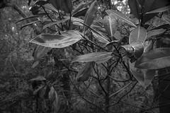 magnolia leaves, New Smyrna Beach, Florida, Nikon D40, Sigma EX DC 18-50mm Macro, 2.4.16 (steve aimone) Tags: blackandwhite monochrome leaves florida magnolia newsmyrnabeach atlanticcenterforthearts nikond40 sigma1850mmexdcmacro