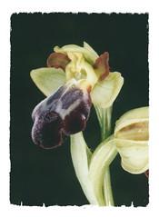 hybride ophrys sulcata x vasconica v (luka116) Tags: 2005 france fleur aude ophrys hybride orchidaces ophryssulcata ophrysvasconica ophryshybride pechbugarach hybrideophrys
