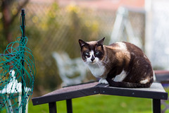 Lisa (No_Water) Tags: cat de snowshoe deutschland mix lisa katze siam badenwürttemberg ebersbachanderfils