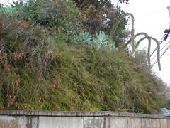 starr-070313-5689-Russelia_equisetiformis-flowering_habit-Pulehu-Maui (Starr Environmental) Tags: russeliaequisetiformis