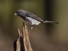 Dark-eyed Junco (AllHarts) Tags: ngc npc memphistn backyardbirds femaledarkeyedjunco feathersbeaks naturescarousel ourwonderfulandfragileworld naturessprit