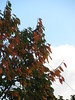 starr-110103-6335-Diospyros_kaki-leaves_turning_colors-Olinda-Maui (Starr Environmental) Tags: diospyroskaki